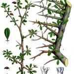 Commiphora_myrrha_-_Köhler–s_Medizinal-Pflanzen-019